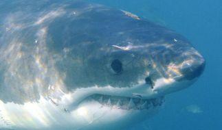 Ein Weißer Hai in der Nahaufnahme. (Foto)