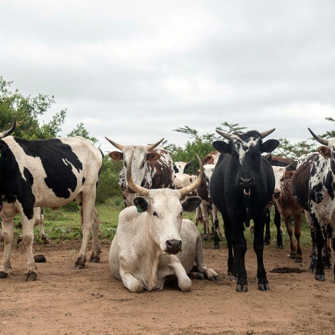 Killerkuh macht Jagd auf Schafe und frisst sie (Foto)