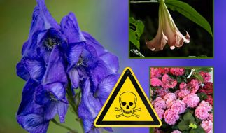 So schön und so gefährlich: Giftpflanzn im Vorgarten. (Foto)