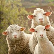 80 Schafe ersetzen Maschinen bei der Schweizer Bahn (Foto)