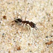 Mandibel-Sprung rettet Ameisen aus höchster Not (Foto)