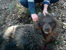 Bär greift Frau an und verscharrt sie im Waldboden. (Foto)