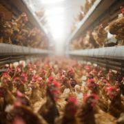 Foodwatch kritisiert Missstände in der Legehennen-Haltung (Foto)