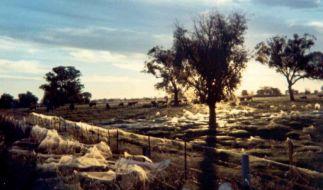 Unzählige Spinnennetze haben sich über der australischen Landschaft ausgebreitet. (Foto)