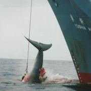 Japans Walfänger verfehlen Jagdquote (Foto)