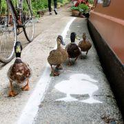 In London gibt es jetzt Fußwege für Enten (Foto)