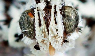Insgesamt 53 Merkmale unterscheiden die Sirindhornia-Motte von ihren Artgenossen. (Foto)