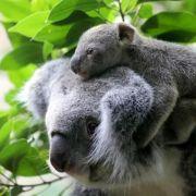 Koalas zur «gefährdeten Art» in Queensland erklärt (Foto)