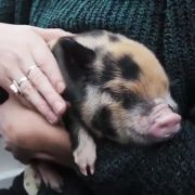 Therapie-Schweinchen sollen gegen Prüfungsangst helfen (Foto)