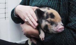 Schweine werden an einer englischen Uni als Mittel gegen Prüfungs-Angst eingesetzt. (Foto)