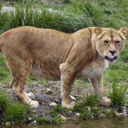 Totgebissen! Amerikanerin stirbt nach Löwen-Attacke (Foto)
