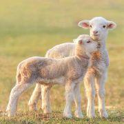 Unbekannter schlachtet Lamm brutal ab (Foto)