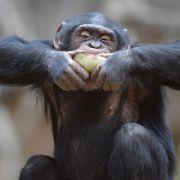 Schimpansen am Herd: kognitive Fähigkeiten wohl ausreichend (Foto)