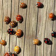 Intensiv gefärbte Marienkäfer sind giftiger (Foto)