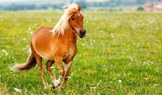 Nach einer Prügelattacke fordert ein Sodomist von Ponybesitzern nun ein Schmerzensgeld. (Foto)