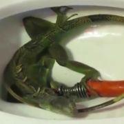 Ins Klo gegriffen: Leguan verstopft Toilette (Foto)