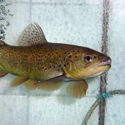 Fische in Europas Hochgebirgsseen verweiblichen (Foto)