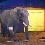 Polizei: Elefant soll nach Attacke doch nicht in Serengeti-Park (Foto)