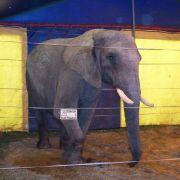 Nach tödlicher Attacke: Befreiten Tierschützer den Elefanten? (Foto)