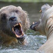 Cappuccino-Bären als Folge des Klimawandels (Foto)