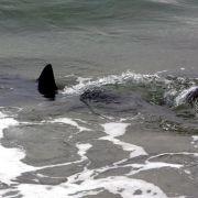 Zwei Jugendliche in USA bei Hai-Angriffen schwer verletzt (Foto)