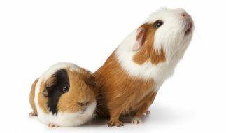 töten meerschweinchen ratten