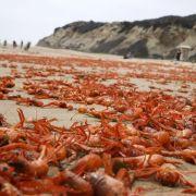 Tausende tote Krabben färben Strände in Kalifornien orange (Foto)