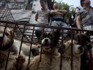 Hundefleisch-Festival in China: Tausende Tiere werden geschlachtet. (Foto)