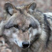 Wolf aus auffälligem Rudel künftig mit Sender unterwegs (Foto)
