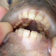 Vorsicht! Fisch mit Menschenzähnen beißt Schwimmern die Hoden ab (Foto)