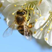 Stirbt die Biene aus, sind wir die Nächsten (Foto)