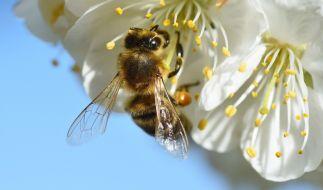Die Bienen sind vom Aussterben bedroht. (Foto)