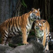Tiger-Sex geht für Weibchen tödlich aus (Foto)