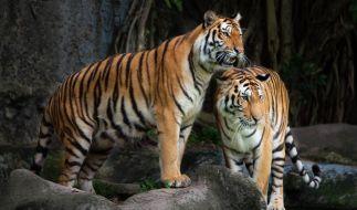 Bei der Paarung zweier malaysischer Tiger kam es im Bergzoo Halle zu einem tragischen Unfall, bei dem Tigerweibchen Momoe starb. (Foto)