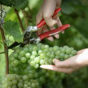Deutschlands Weinproduktion wächst - gegen globalen Trend (Foto)