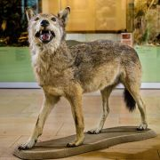 DNA-Test: Totes Tier in Baden-Württemberg war Wolf (Foto)