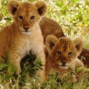 ZDF-Doku zeigt das gewaltsame Löwen-Schlachten (Foto)
