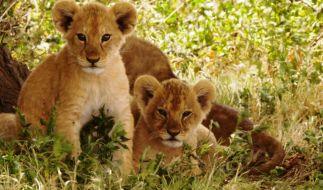 Wissenschaftler gehen davon aus, dass es ohne strengere Schutzmaßnahmen in 30 Jahren keine freilebenden Löwen mehr geben wird. (Foto)