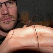 Nervenzellen in Begattungsorgan von Spinnen nachgewiesen (Foto)