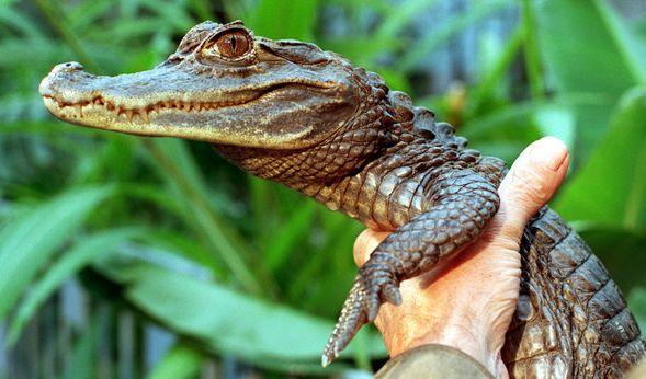 Kaiman Sammy sorgte 1994 für Angst und Schrecken in einem Badesee. Sein Herrchen hat das Reptil kurzerhand mit an den Badesee genommen. (Foto)