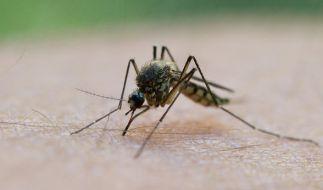 Stechmücken gehören zu den Plagen des Sommers - doch es gibt Geheimrezepte, die die Insekten fernhalten können und bei Stichen rasche Linderung versprechen. (Foto)