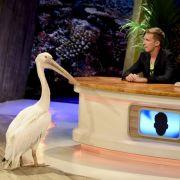 Wie niedlich! Oliver Pocher kuschelt mit Pelikan (Foto)