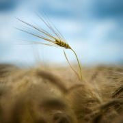 Landwirtschaft deutlich älter als bisher angenommen? (Foto)