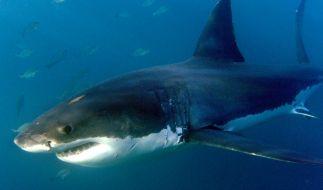 Hai-Attacken häufen sich. (Foto)