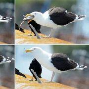 Greifen Meeresvögel bald auch Babys an? (Foto)