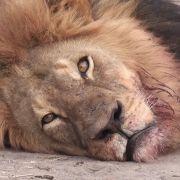 Grausam ermordet: Afrikas berühmtester Löwe Cecil.
