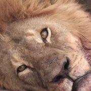 Grausam! Touri-Zahnarzt köpft Afrikas berühmtesten Löwen (Foto)