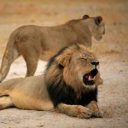 Entrüstung nach Tötung von Löwe Cecil in Simbabwe (Foto)