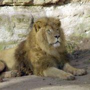 US-Zahnarzt im Kreuzfeuer nach Tötung von Löwe Cecil (Foto)