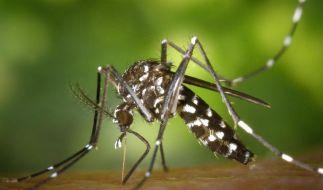 Forscher fast sicher:Asiatische Tigermücke überwintert hier (Foto)